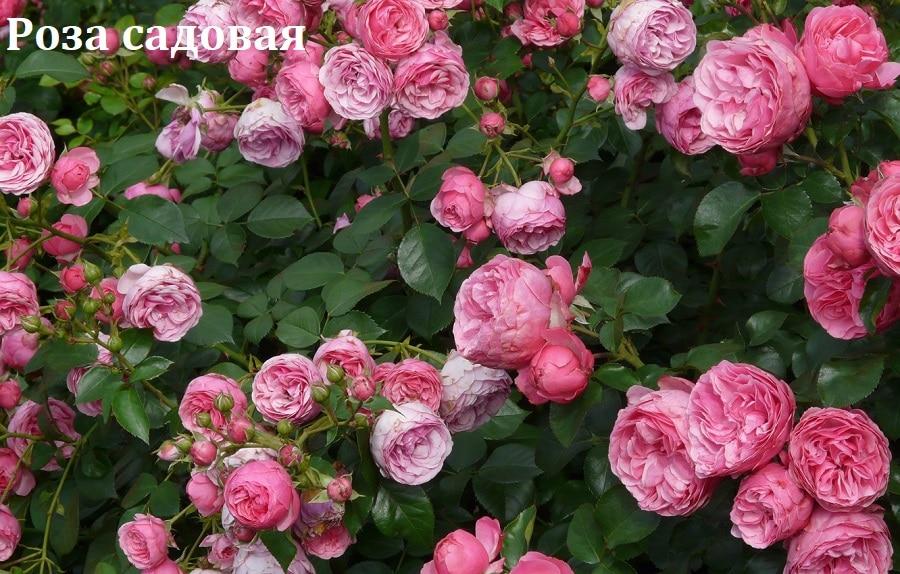 роза для хомяка